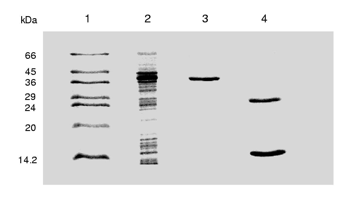 http://static-content.springer.com/image/art%3A10.1186%2F1471-2091-3-5/MediaObjects/12858_2002_Article_25_Fig1_HTML.jpg