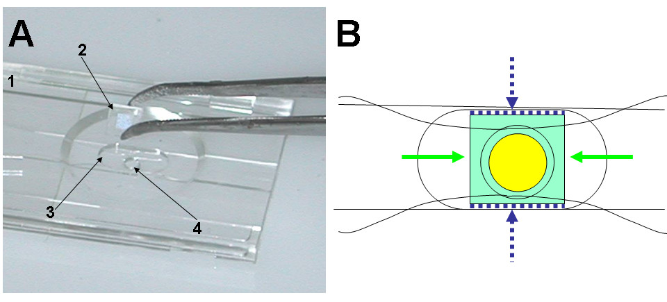 http://static-content.springer.com/image/art%3A10.1186%2F1471-2121-11-54/MediaObjects/12860_2009_Article_499_Fig3_HTML.jpg