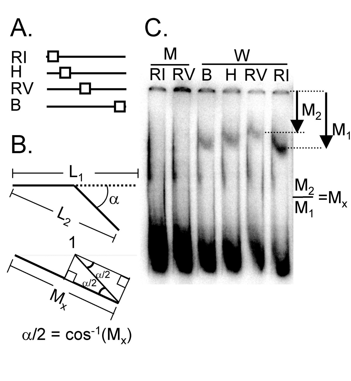 http://static-content.springer.com/image/art%3A10.1186%2F1471-2180-7-44/MediaObjects/12866_2006_Article_361_Fig6_HTML.jpg