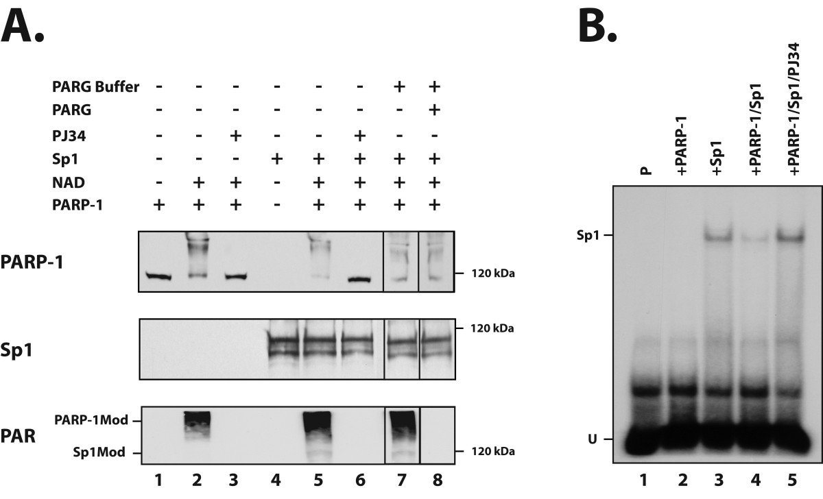http://static-content.springer.com/image/art%3A10.1186%2F1471-2199-8-96/MediaObjects/12867_2007_Article_233_Fig6_HTML.jpg