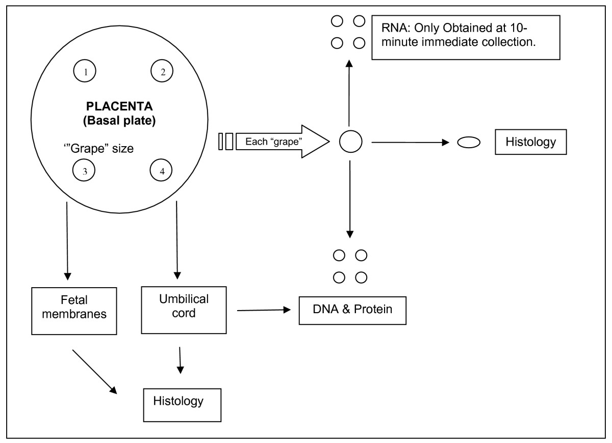 http://static-content.springer.com/image/art%3A10.1186%2F1471-2393-8-51/MediaObjects/12884_2008_Article_51_Fig1_HTML.jpg