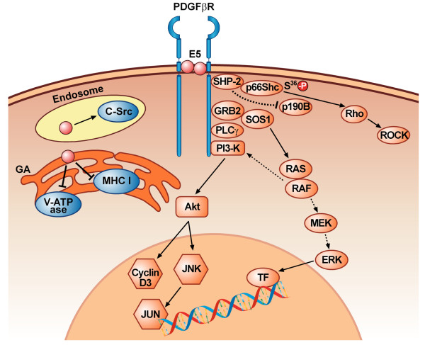 recruitment of sos1-grb2 complex to p-pdgfβr may activate ras