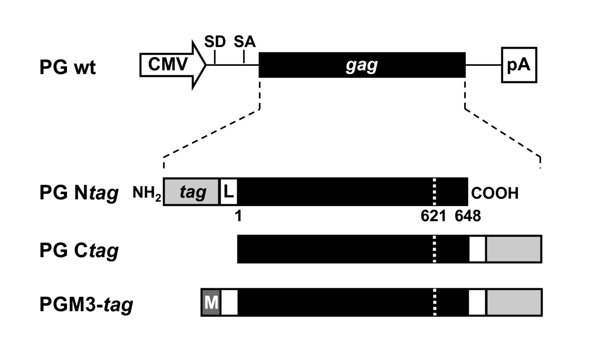 http://static-content.springer.com/image/art%3A10.1186%2F1742-4690-7-45/MediaObjects/12977_2010_Article_1848_Fig1_HTML.jpg