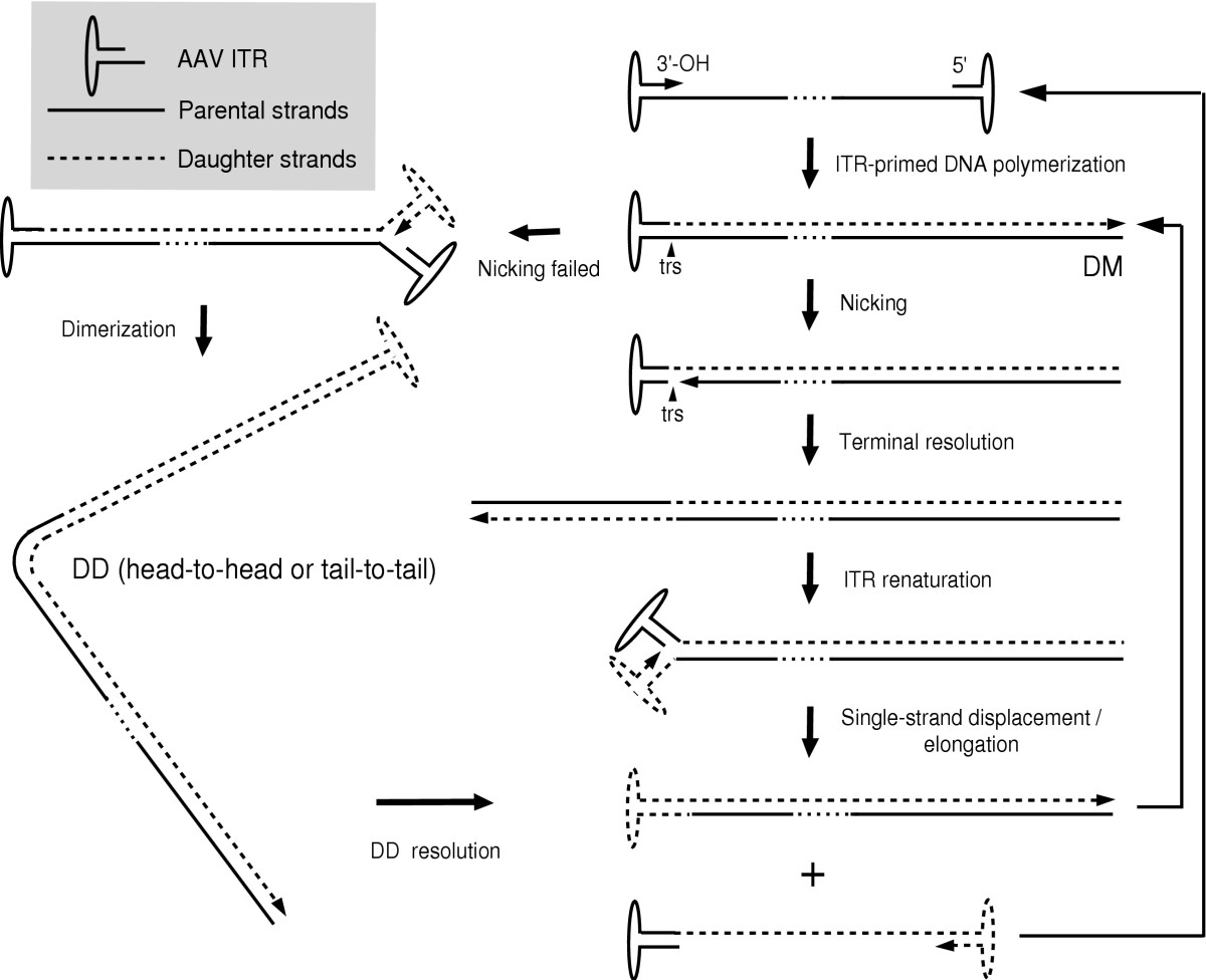 http://static-content.springer.com/image/art%3A10.1186%2F1743-422X-2-43/MediaObjects/12985_2005_Article_58_Fig3_HTML.jpg