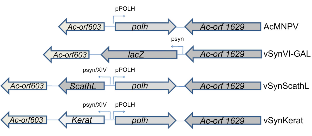 http://static-content.springer.com/image/art%3A10.1186%2F1743-422X-7-143/MediaObjects/12985_2010_Article_888_Fig1_HTML.jpg