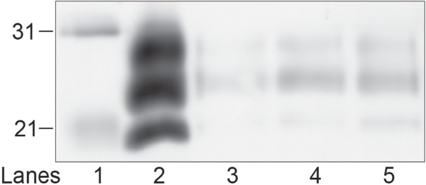 http://static-content.springer.com/image/art%3A10.1186%2F1746-6148-9-8/MediaObjects/12917_2012_598_Fig2_HTML.jpg