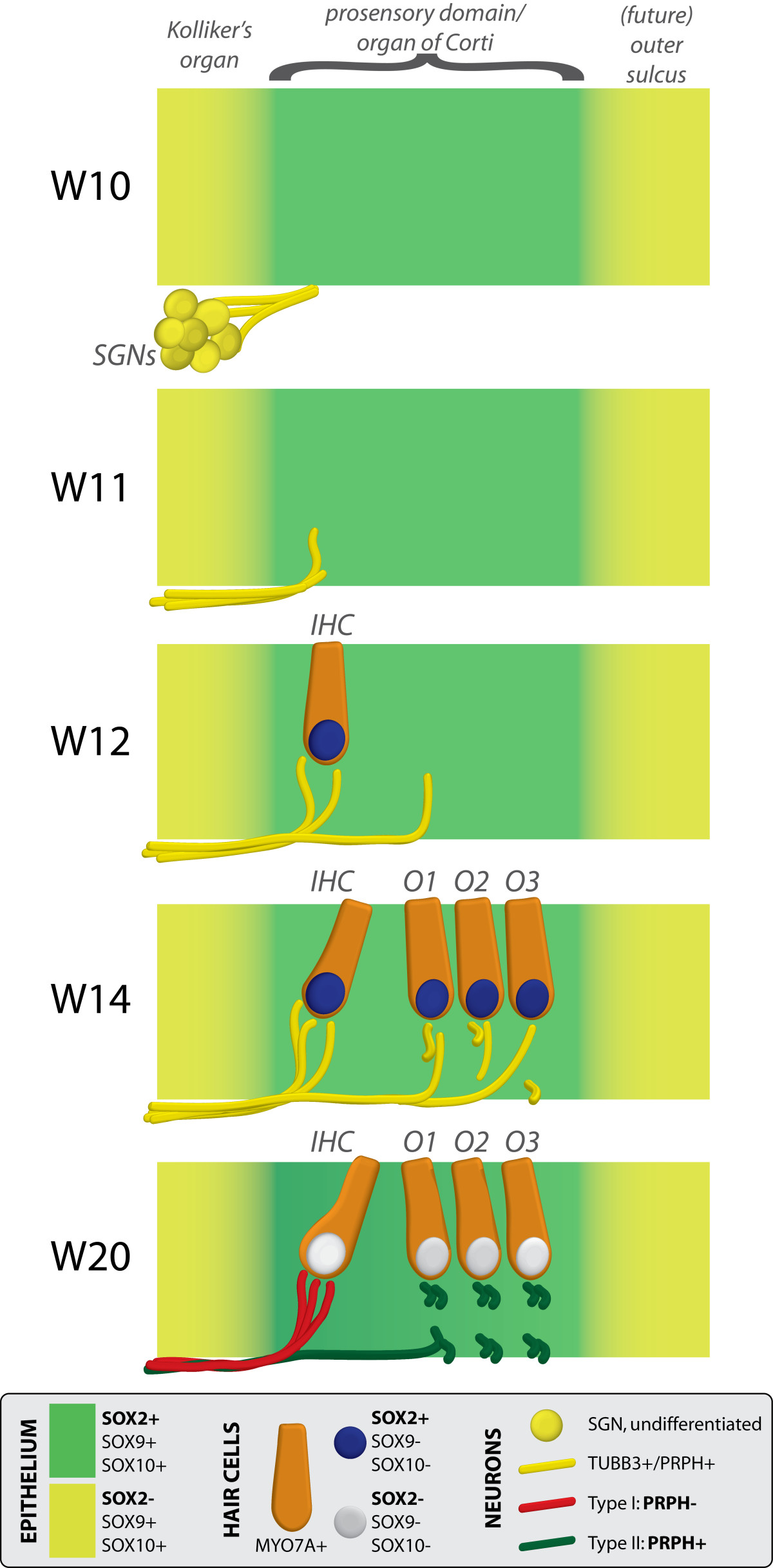 http://static-content.springer.com/image/art%3A10.1186%2F1749-8104-8-20/MediaObjects/13064_2013_Article_241_Fig9_HTML.jpg