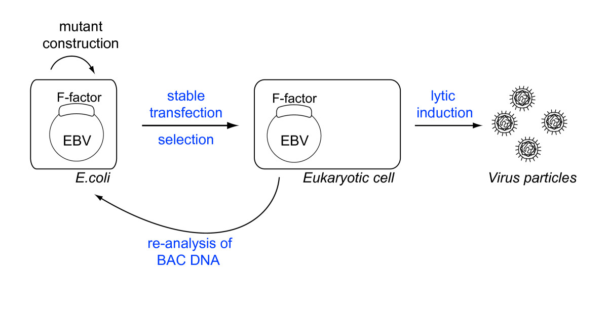 http://static-content.springer.com/image/art%3A10.1186%2F2042-4280-1-6/MediaObjects/13276_2010_Article_6_Fig1_HTML.jpg