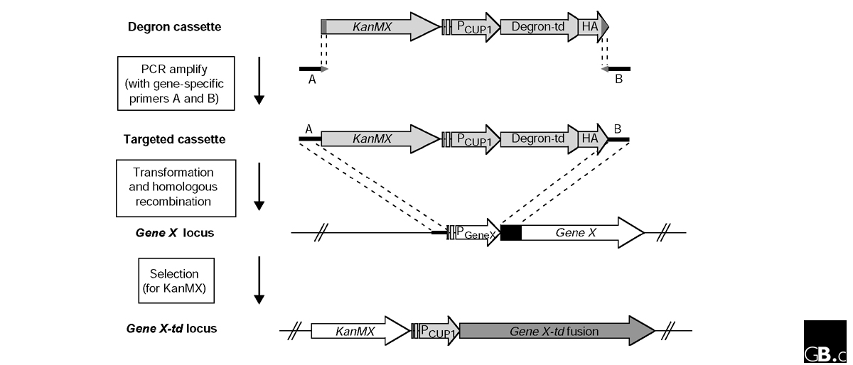 http://static-content.springer.com/image/art%3A10.1186%2Fgb-2003-4-10-230/MediaObjects/13059_2003_Article_644_Fig1_HTML.jpg