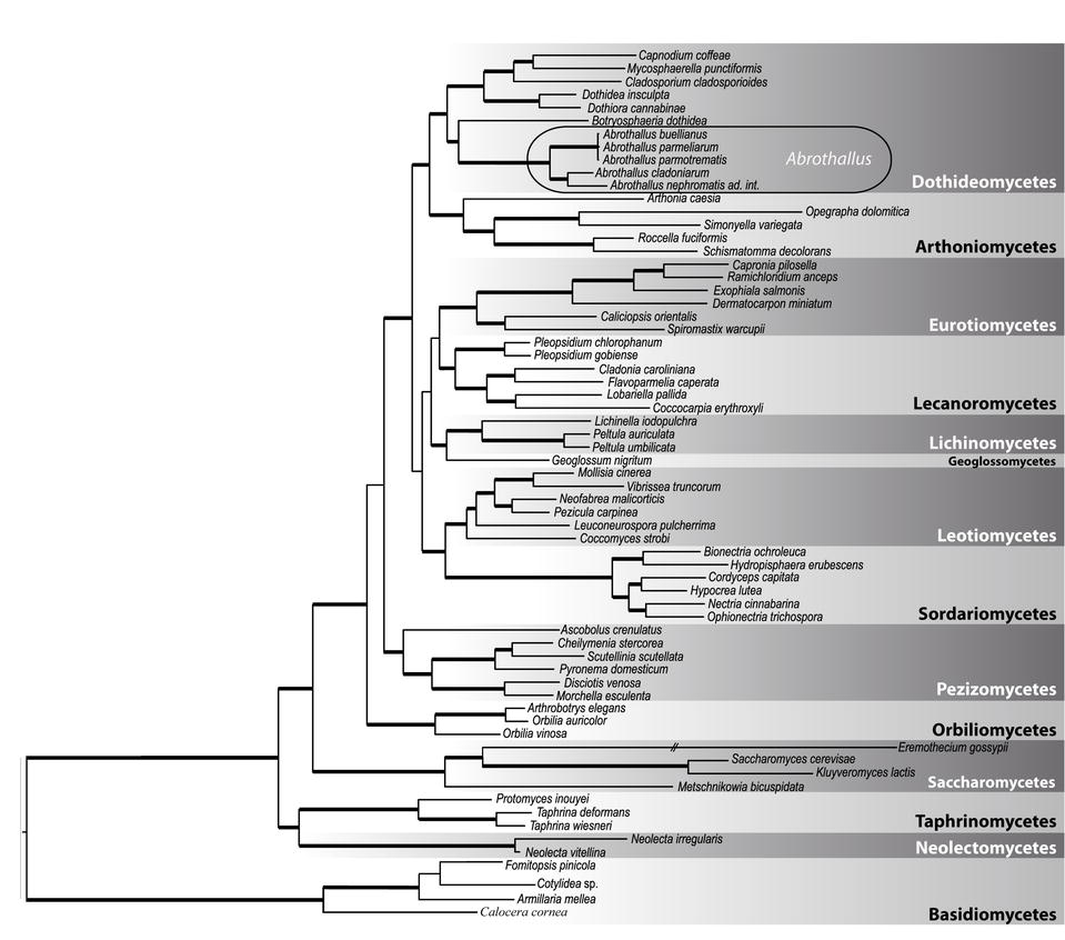 Lichenicolous fungi of the genusabrothallusdothideomycetes supplementary material fandeluxe Gallery