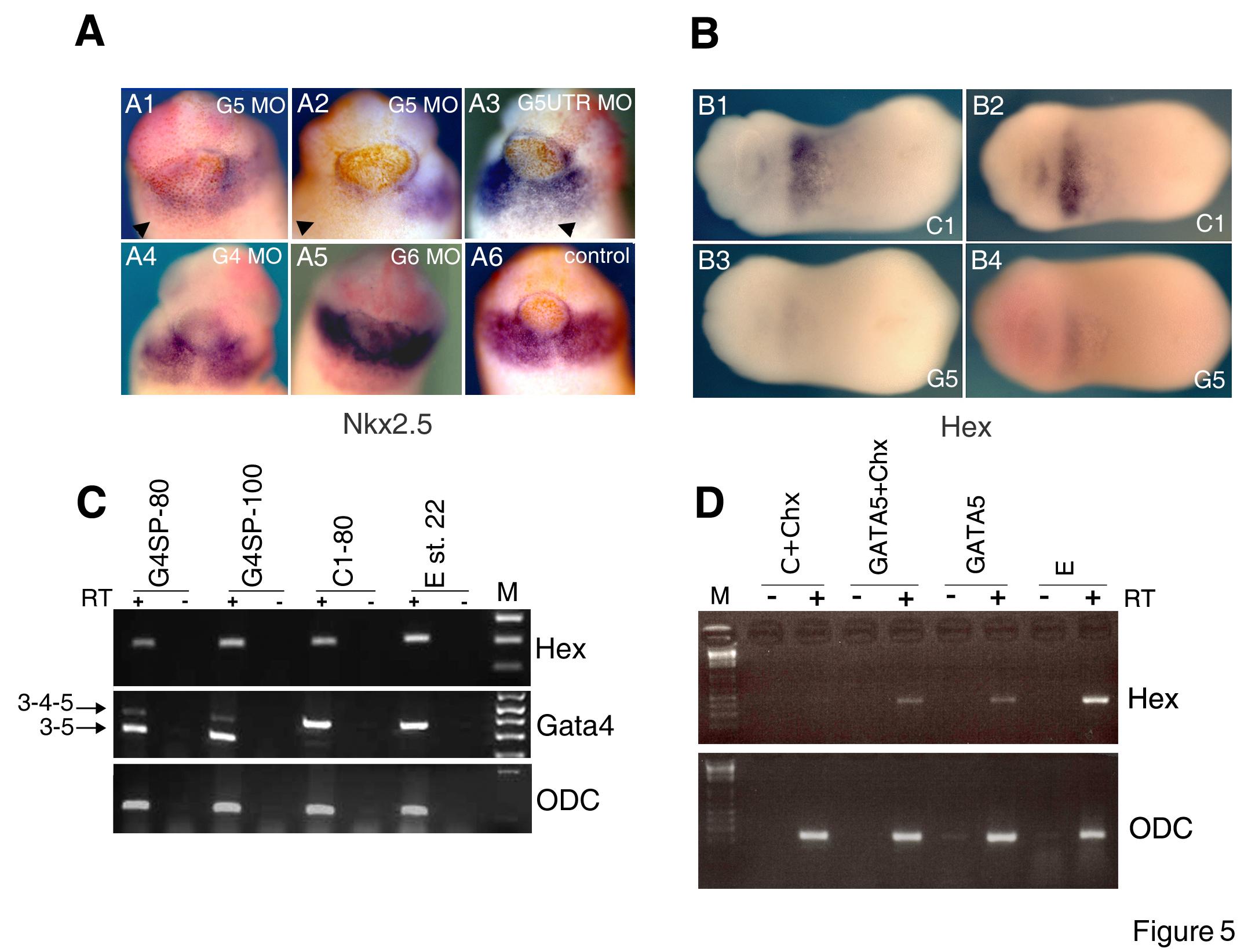 original research paper in developmental biology