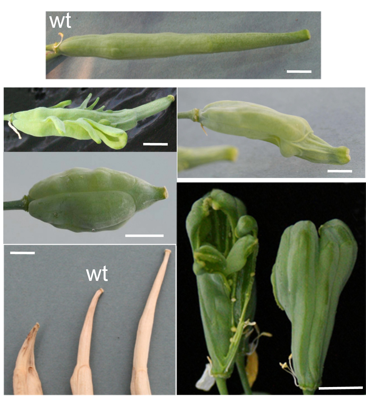 growth of brassica rapa essay example Initial growth new growth of the plant is visible after a period of no growth one or more fruits are visible on the plant for brassica rapa.