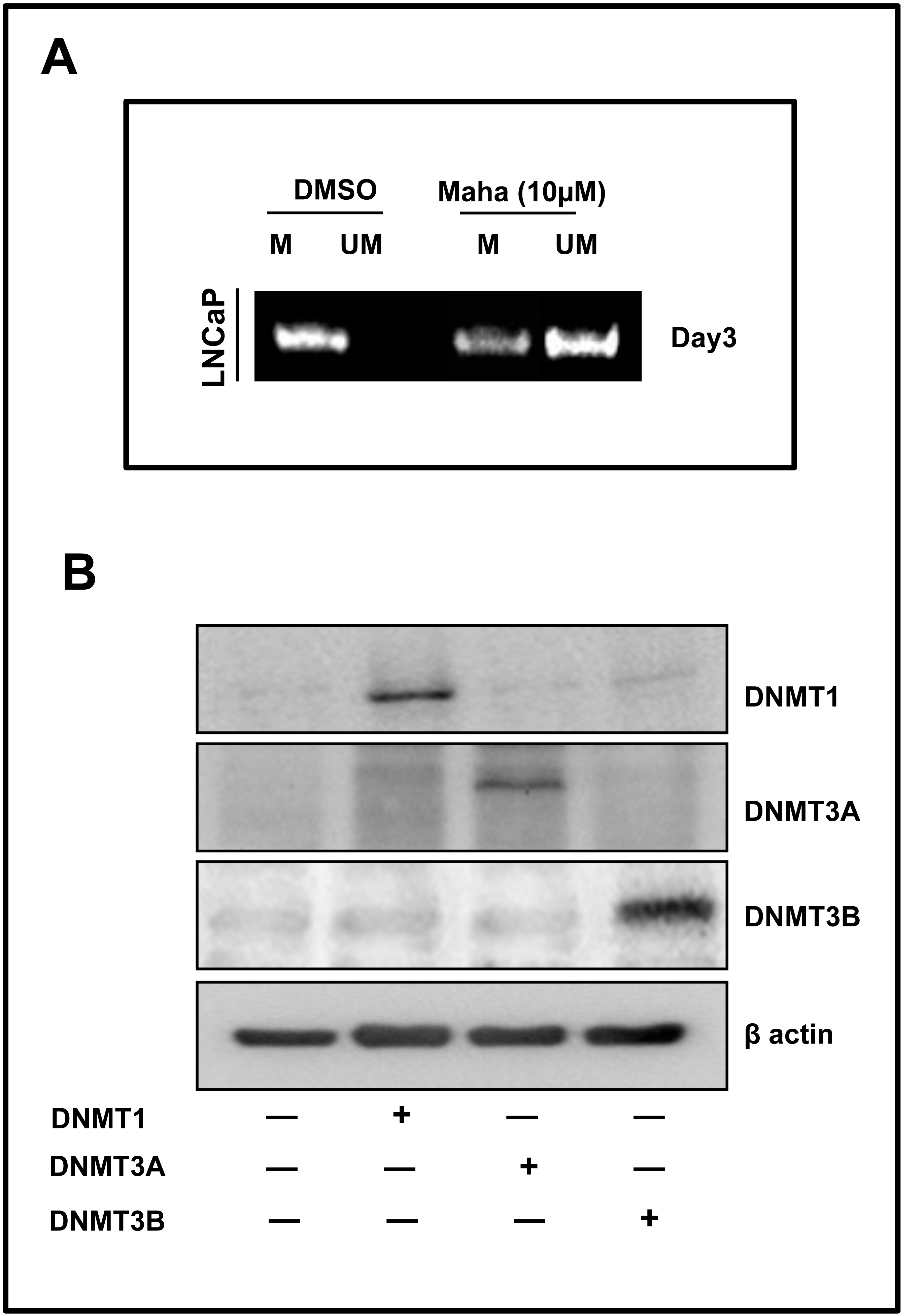 mahanine restores rassf1a expression by down regulating
