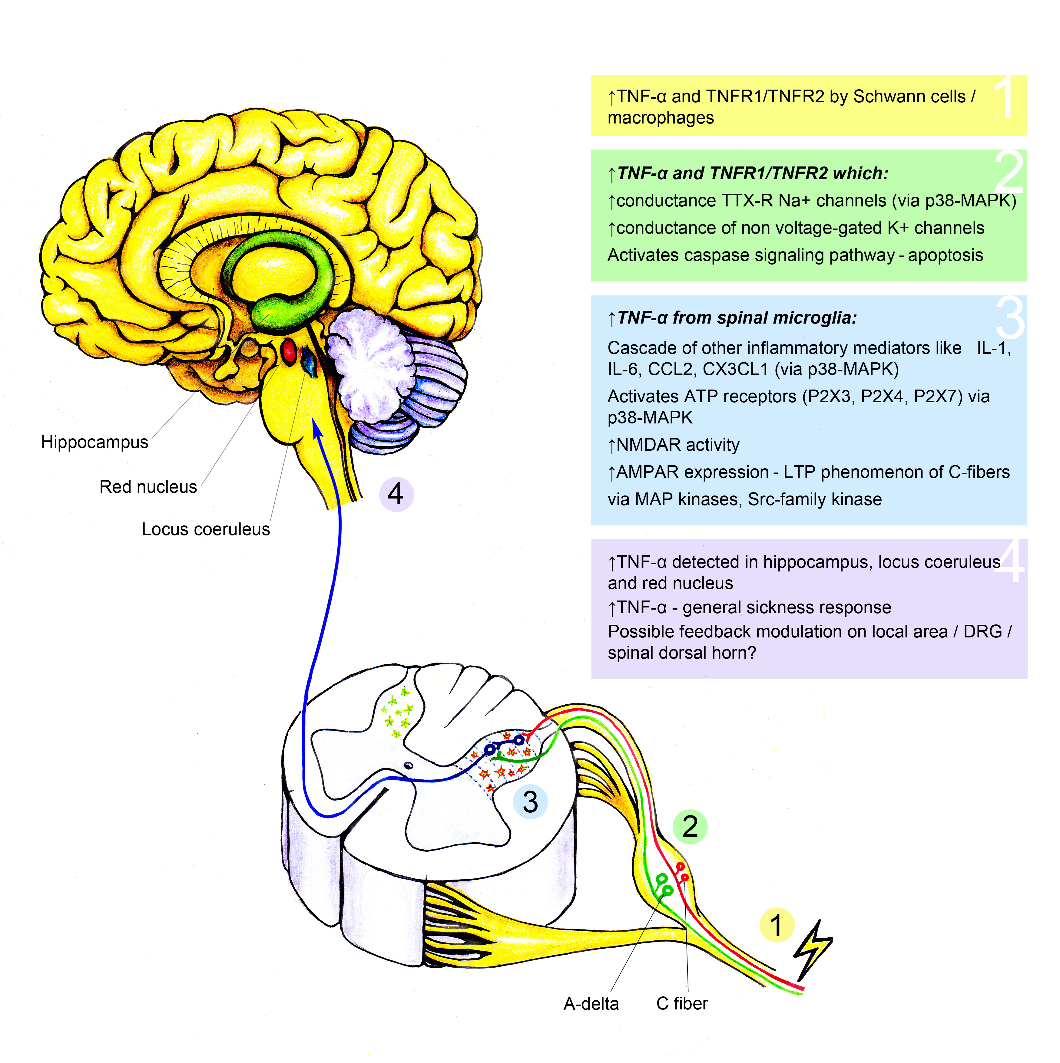 TNF α and neuropathic pain a review