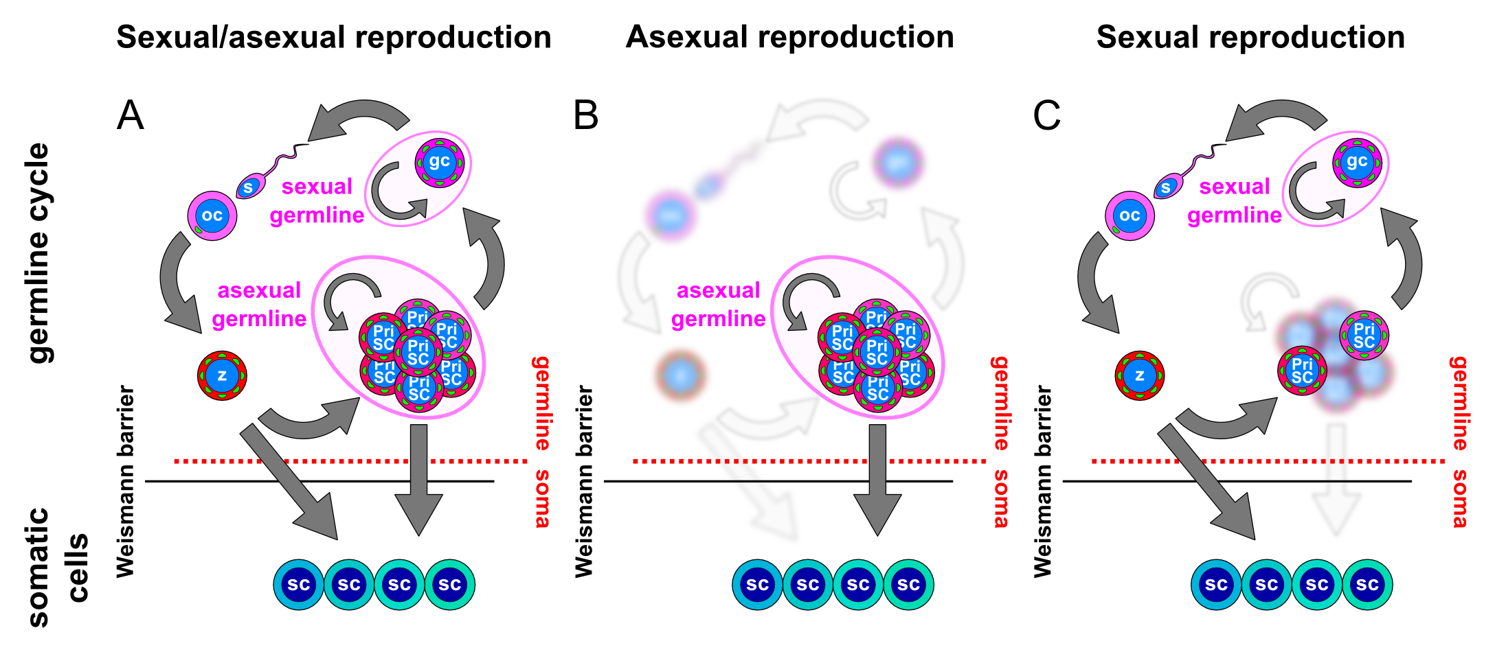 animal asexual reproduction - photo #46