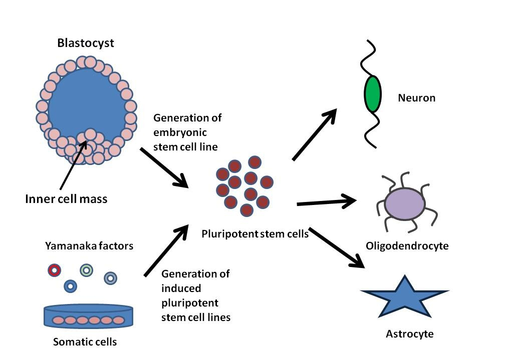 induced pluripotent stem cells applied Neural stem cell (nscs): to collectively describe the mixed population of nscs and neural progenitor cells derived from embryonic stem cells and induced pluripotent stem cells progenitors and mature cns cells have been applied to the study of nscs.