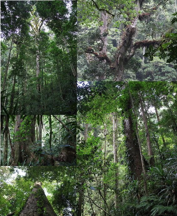 <small>Habitat of Entandrophragma excelsum at Kilimanjaro with forest undergrowth.</small>