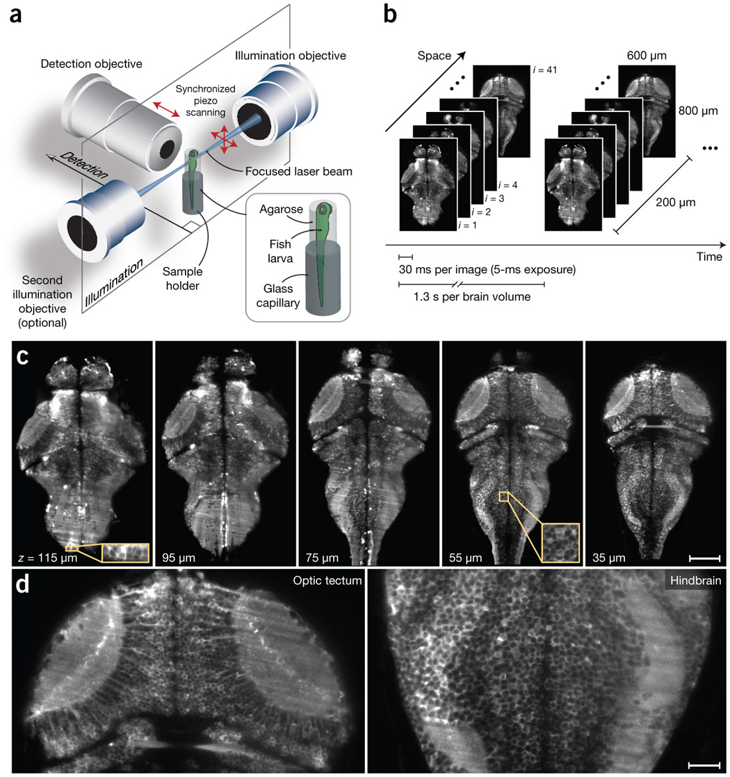 Whole-brain, neuron-level light-sheet imaging in larval zebrafish in vivo.