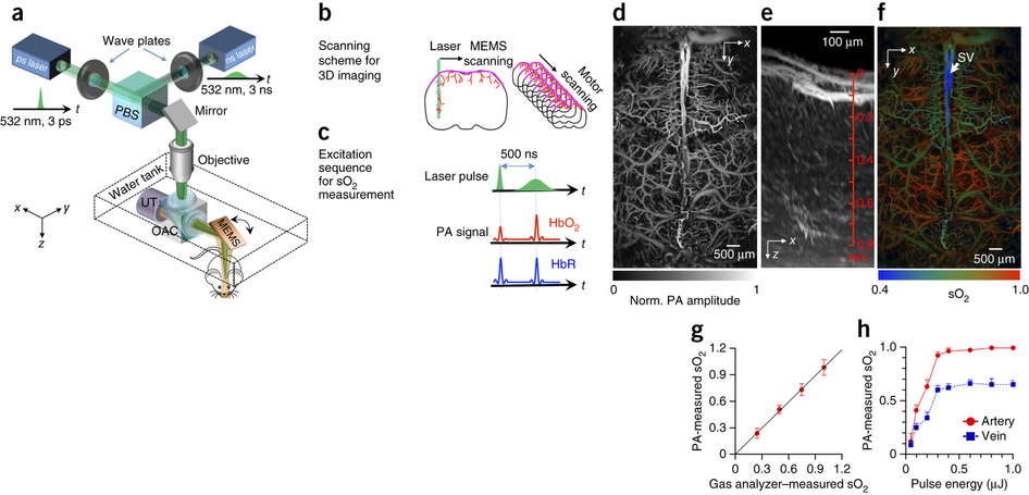 Fast functional photoacoustic microscopy (PAM) of the mouse brain.