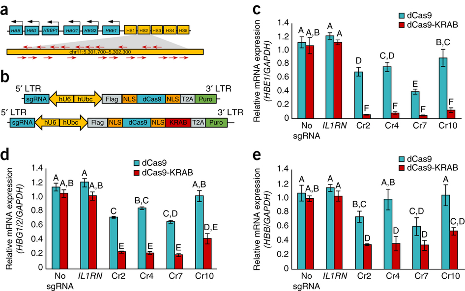 Silencing of downstream globin genes by dCas9-KRAB transcription factors targeted to the distal HS2 enhancer.
