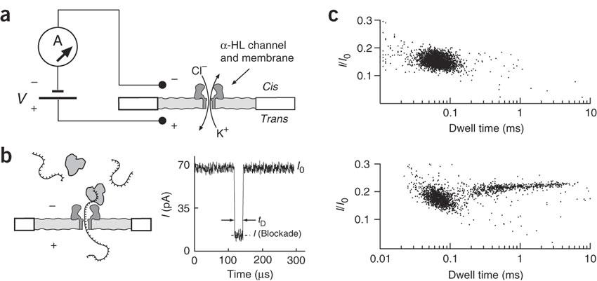 Detecting ssDNA-ExoI complexes using a nanopore.