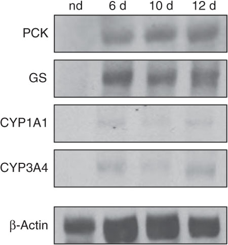 Characterization of hepatocyte-specific marker protein expression in differentiated MSCs using western blots.