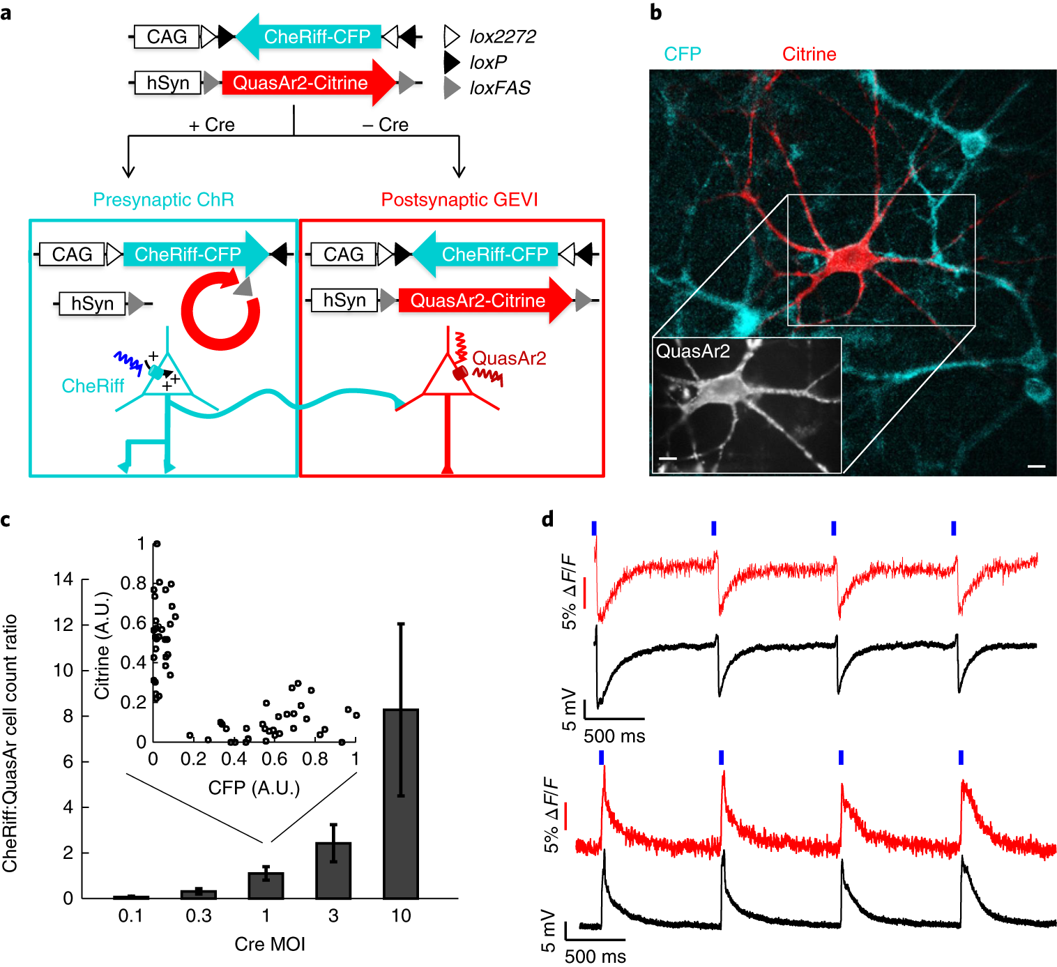 All-optical assay of synaptic function.