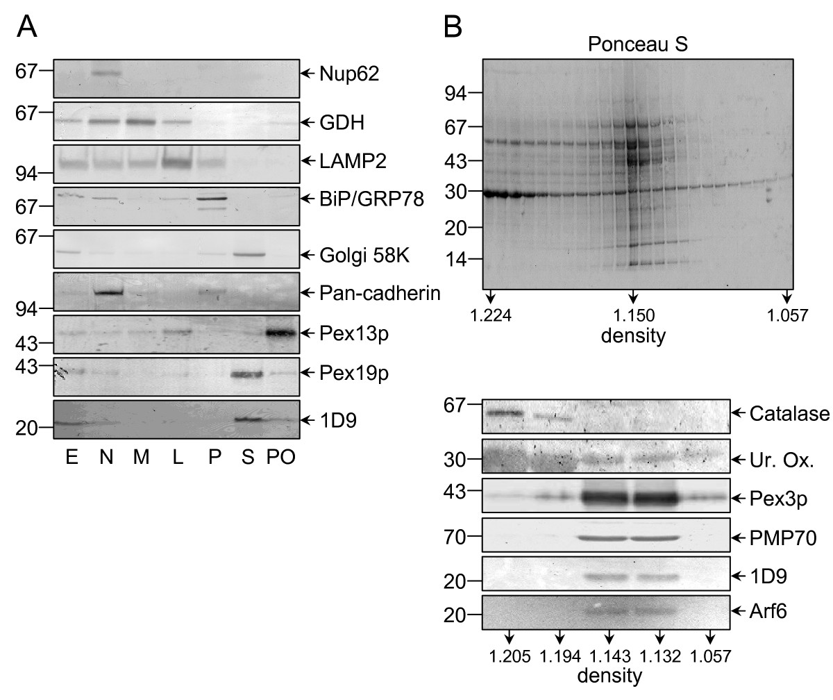 https://static-content.springer.com/image/art%3A10.1186%2F1471-2121-10-58/MediaObjects/12860_2009_Article_407_Fig2_HTML.jpg