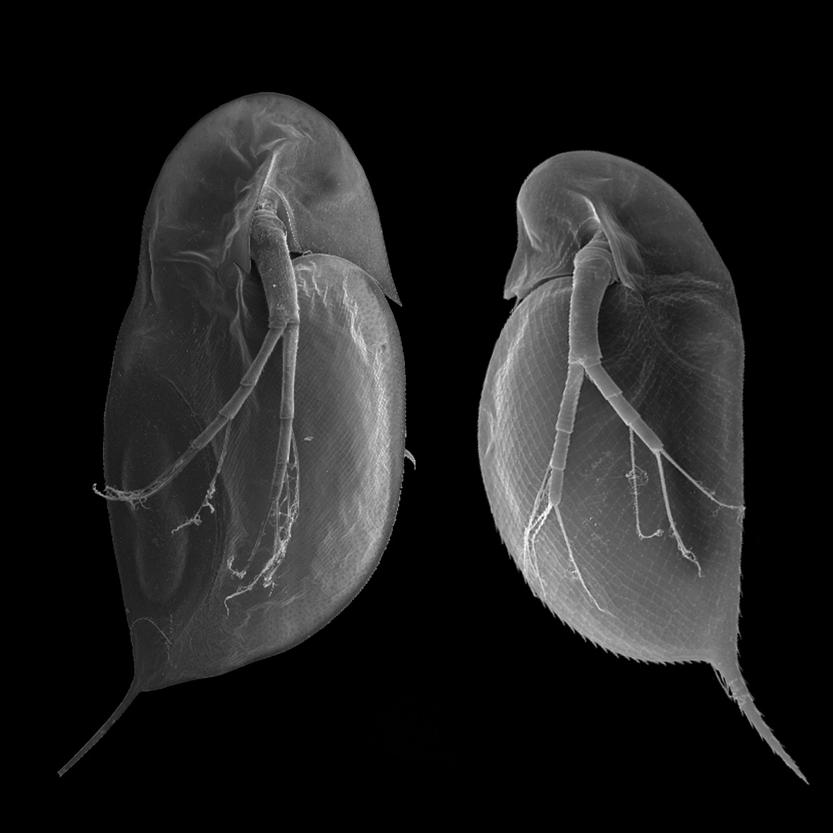 the anatomic description of daphnia or water fleas