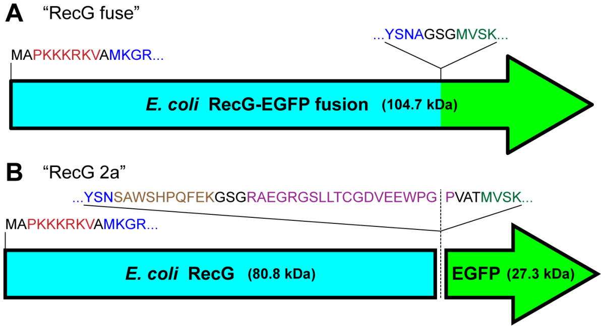 https://static-content.springer.com/image/art%3A10.1186%2F1471-2199-13-33/MediaObjects/12867_2012_Article_639_Fig1_HTML.jpg