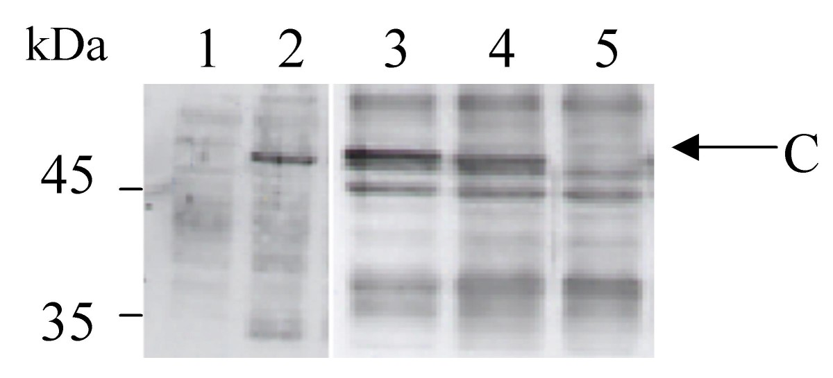 https://static-content.springer.com/image/art%3A10.1186%2F1472-6750-8-64/MediaObjects/12896_2008_Article_333_Fig2_HTML.jpg