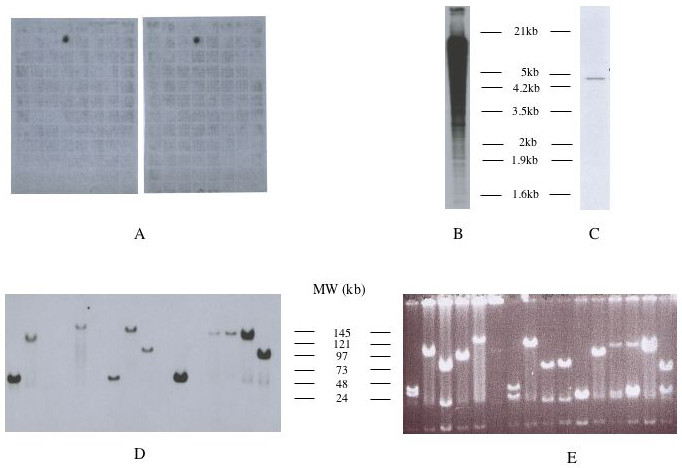 https://static-content.springer.com/image/art%3A10.1186%2F1478-811X-4-1/MediaObjects/12964_2005_Article_29_Fig1_HTML.jpg
