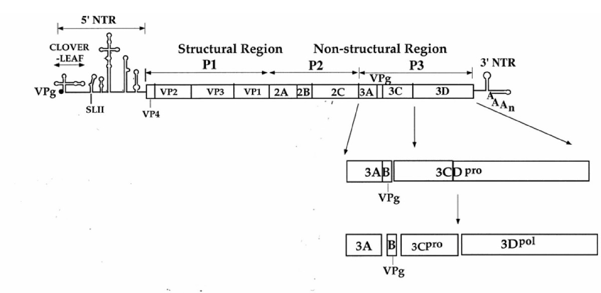 https://static-content.springer.com/image/art%3A10.1186%2F1743-422X-2-86/MediaObjects/12985_2005_Article_101_Fig1_HTML.jpg