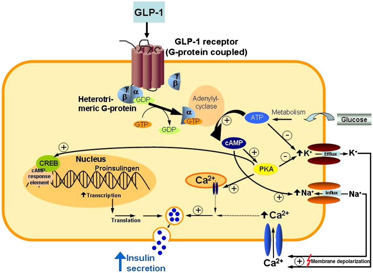 insulin receptor essay