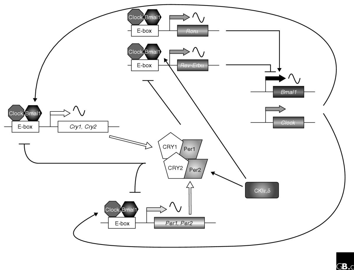 https://static-content.springer.com/image/art%3A10.1186%2Fgb-2004-5-11-246/MediaObjects/13059_2004_Article_761_Fig1_HTML.jpg
