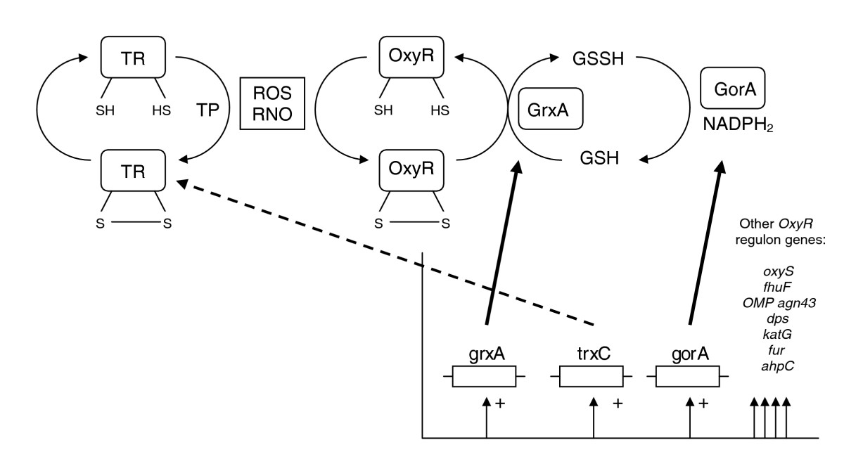 https://static-content.springer.com/image/art%3A10.1186%2Fgb-2007-8-6-r110/MediaObjects/13059_2007_Article_1592_Fig7_HTML.jpg
